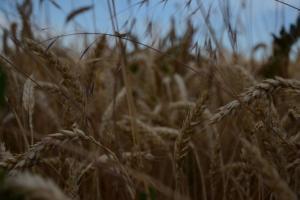 Еда станет более скудной, более дорогой и менее здоровой. На фотографии поле с пшеницей